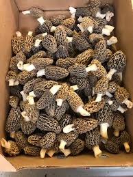 Morel Mushrooms for Sale